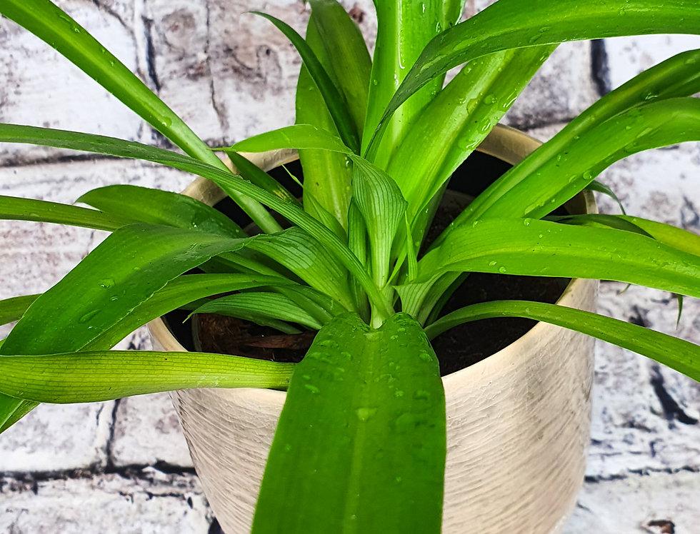 Chlorophytum comosum Green - Spider Plant