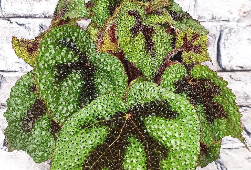 Begonia foliage rex Cross