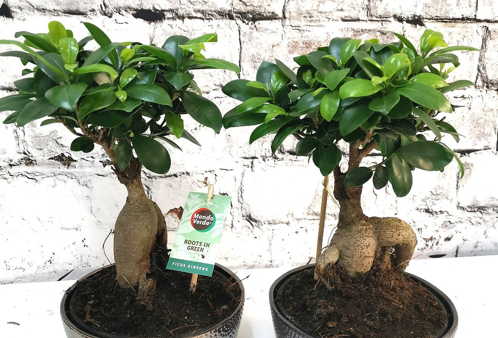 Ficus ginsen with ceramic pot
