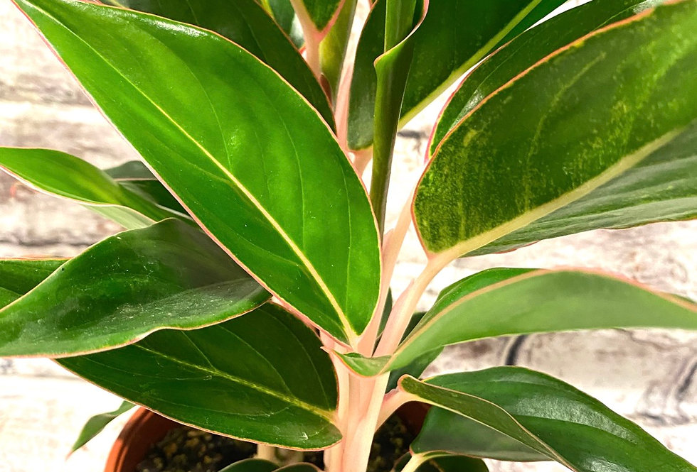 Aglaonema  green/pink