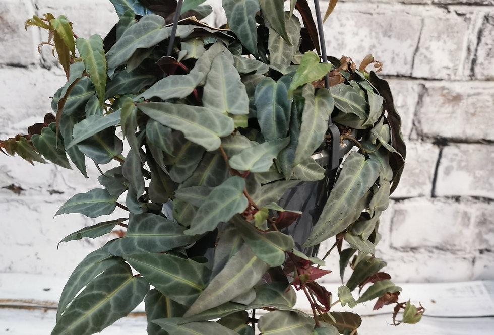 Parthenocissus amazonica / Cissus