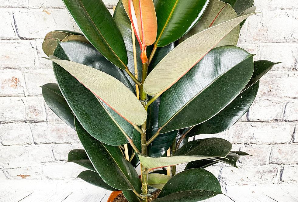 Ficus Abidjan 3pp 75cm
