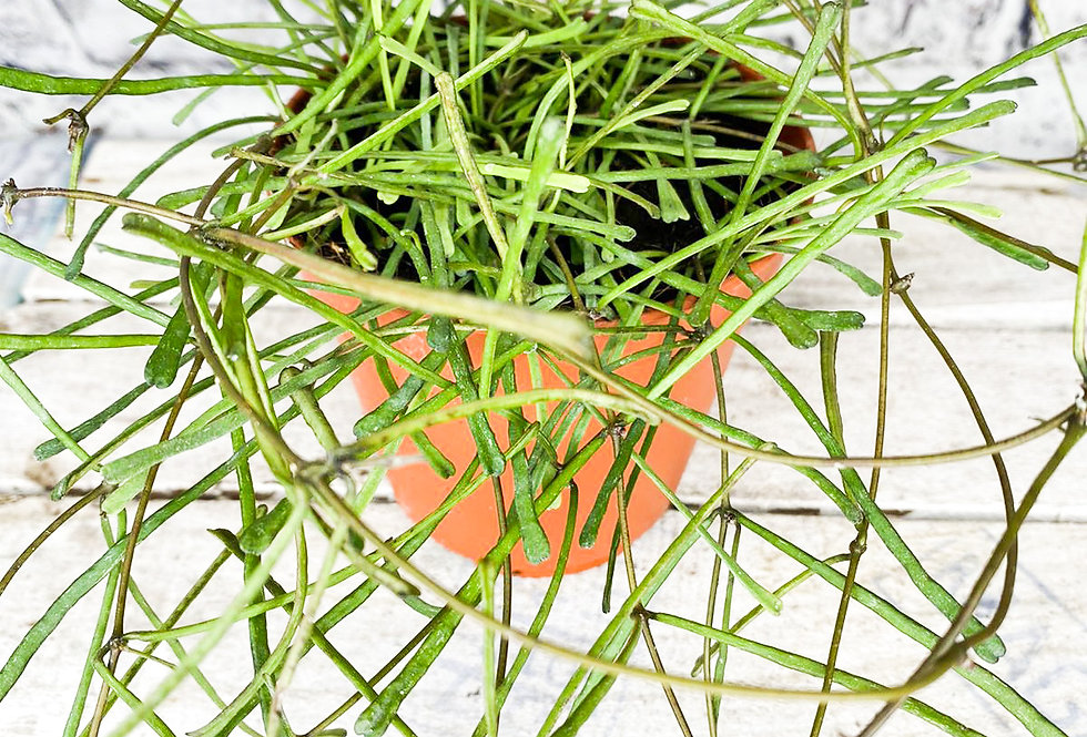 Hoya retusa 12cm pot