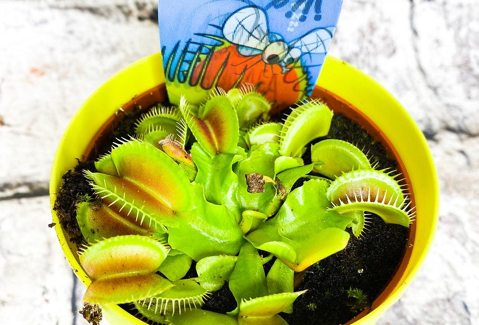 Dionaea muscipula + cup