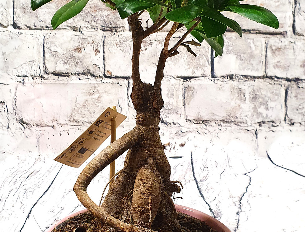 Bonsai Tree + Ceramic pot