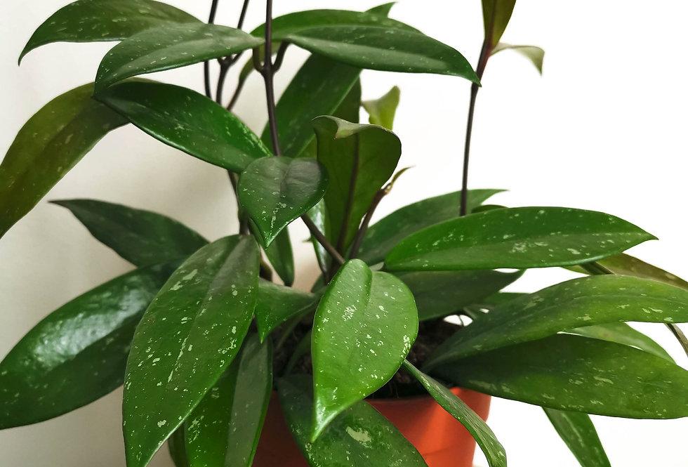 Hoya carnosa Publicalis | Wax plant