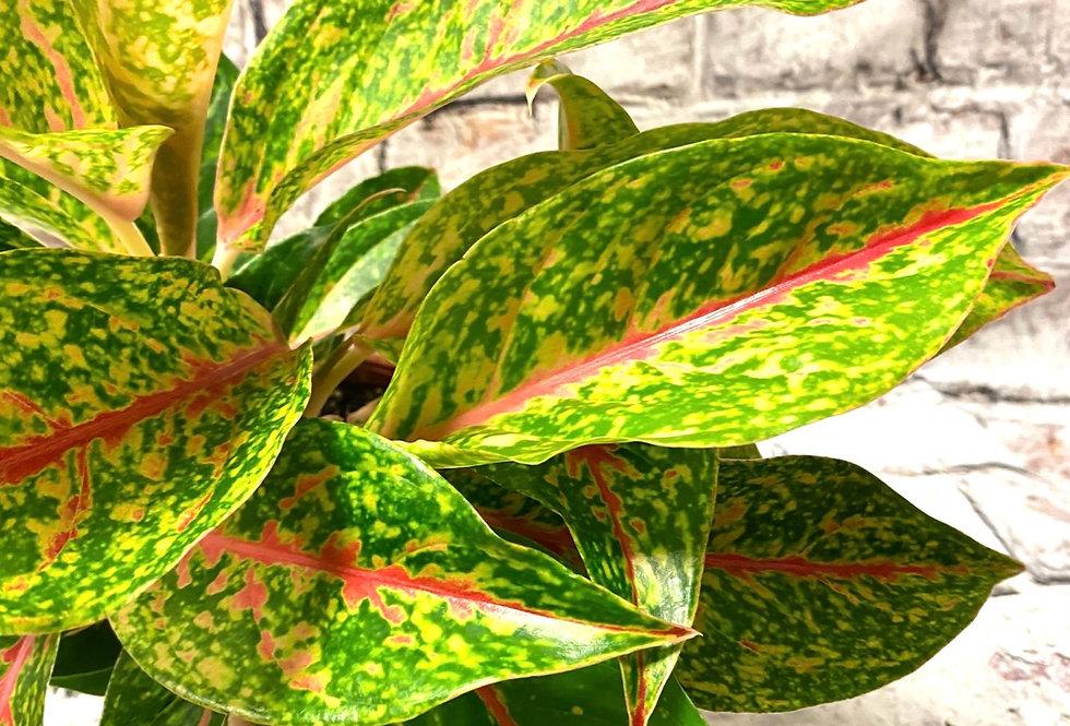 Aglaonema pink stripe