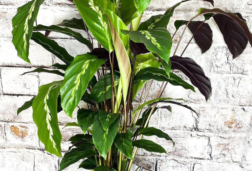 Calathea Mauiqueen 65cm