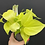 Thumbnail: Philodendron lemon lime