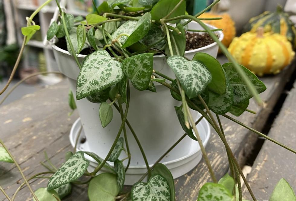 Ceropegia - string of spades hanging