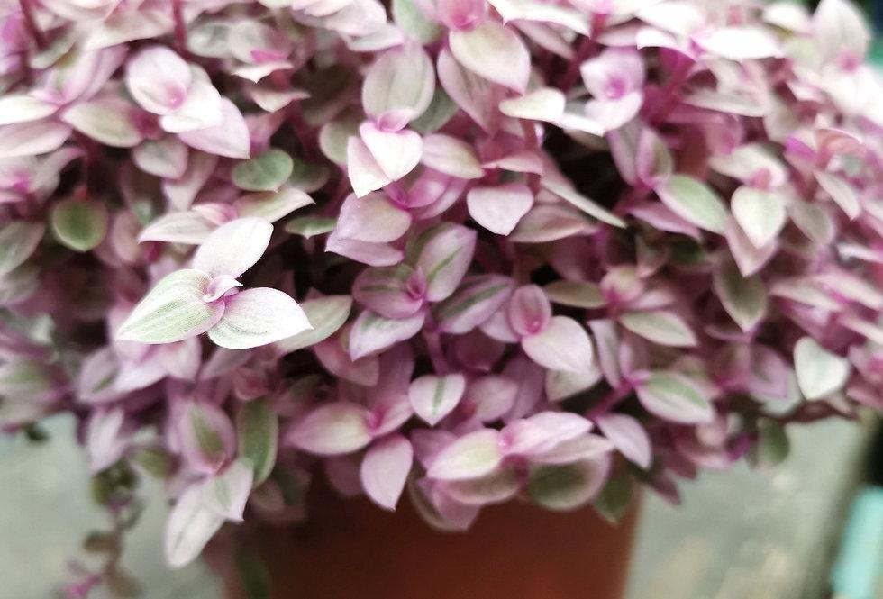 Callisia rosato