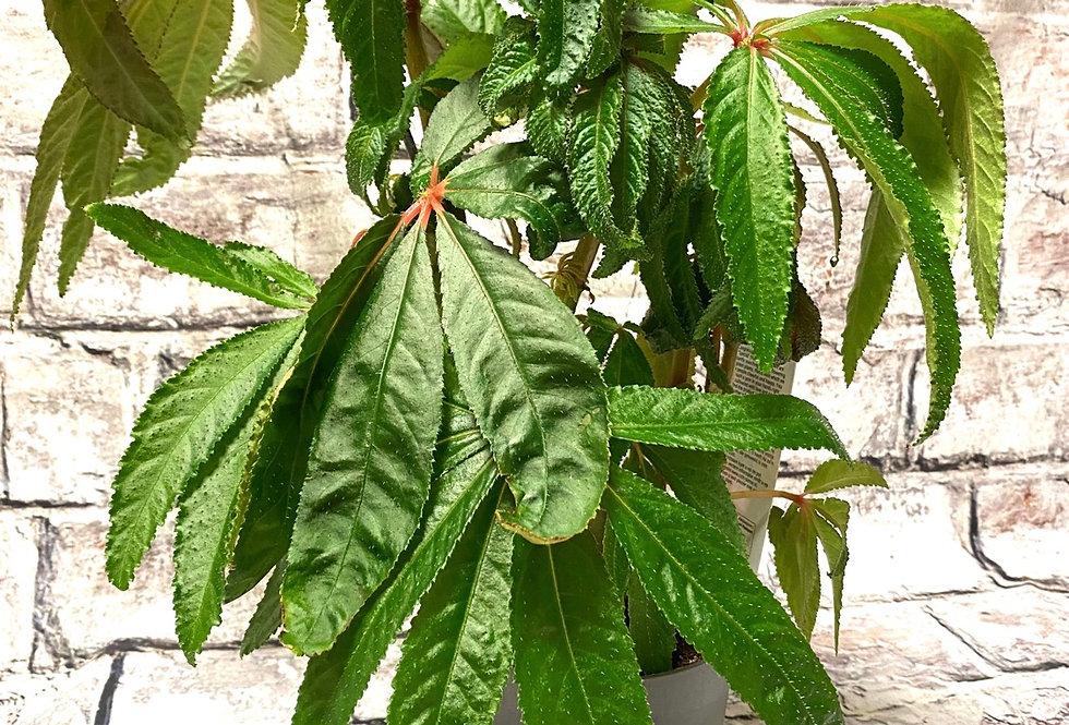 Begonia  luxuriant - Palm Begonia