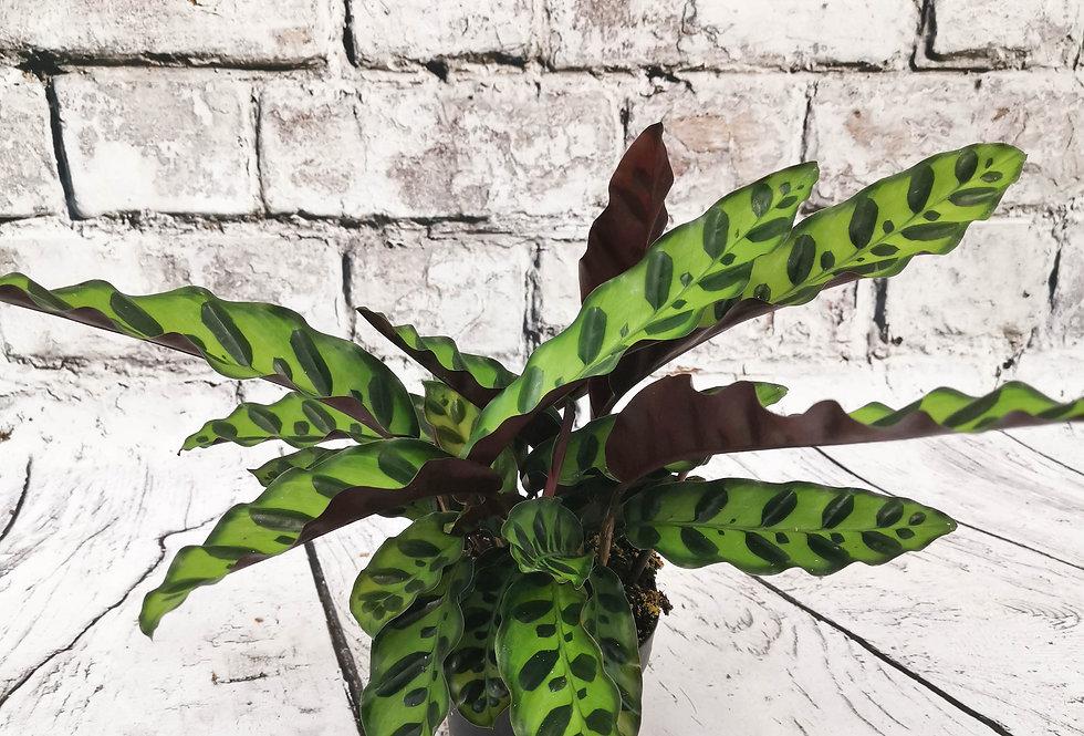 Calathea Lancifolia Insignis - Rattlesnake