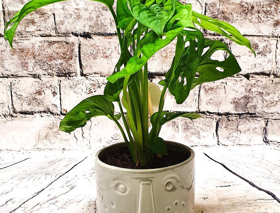Monstera Adasomii with ceramic face pot