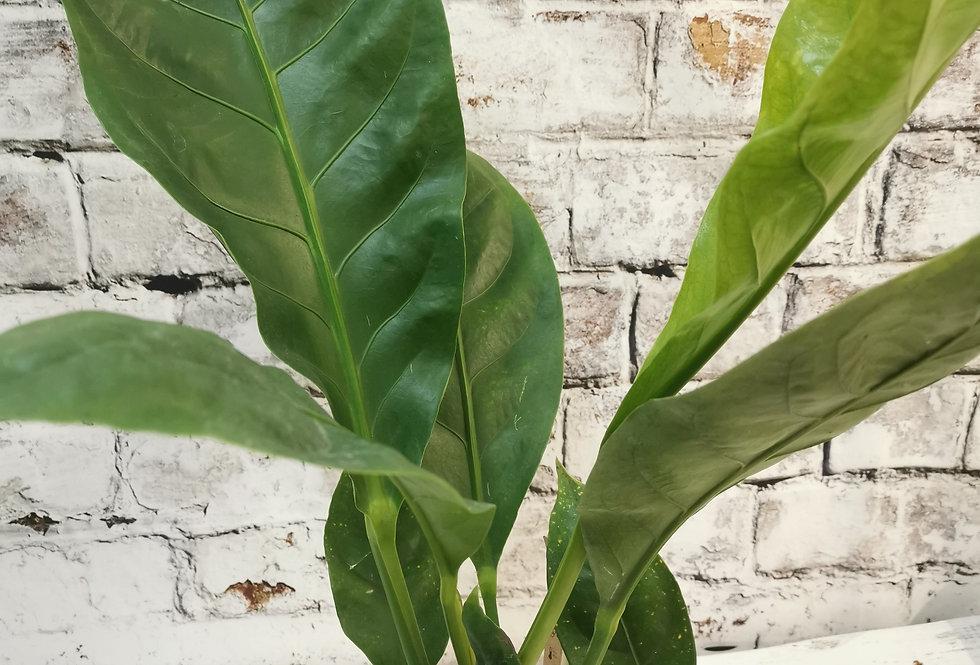 Anthurium ellipticum Jungle King