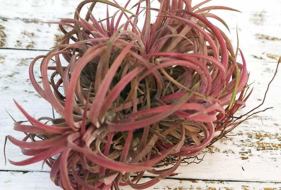 Tillandsia creative pink