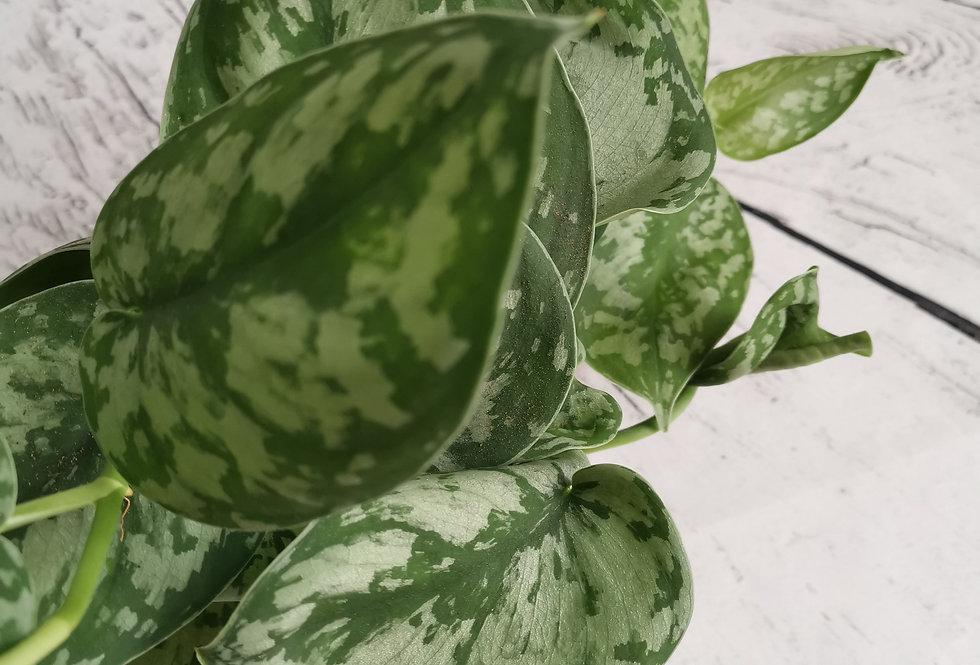 Scindapsus Pictus Trebie - Silver Pothos