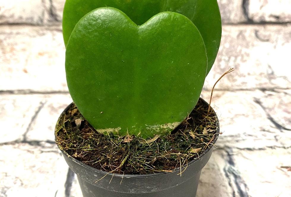 Double leaf Hoya Kerri