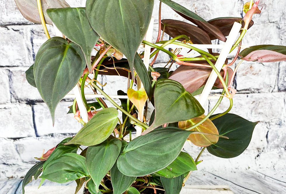 Philodendron Micans with support