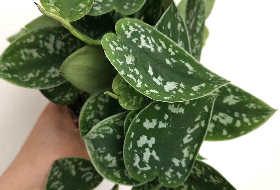 Scindapsus Pictus Argyrae | Silver Pothos | 12cm pot