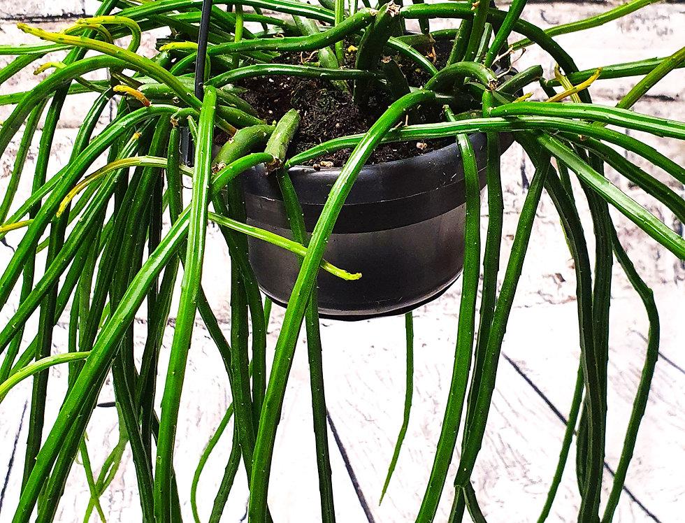 Aprocactus I hanging basket