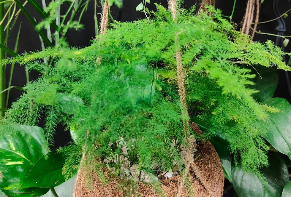 Asparagus Fern - hanging cocodama