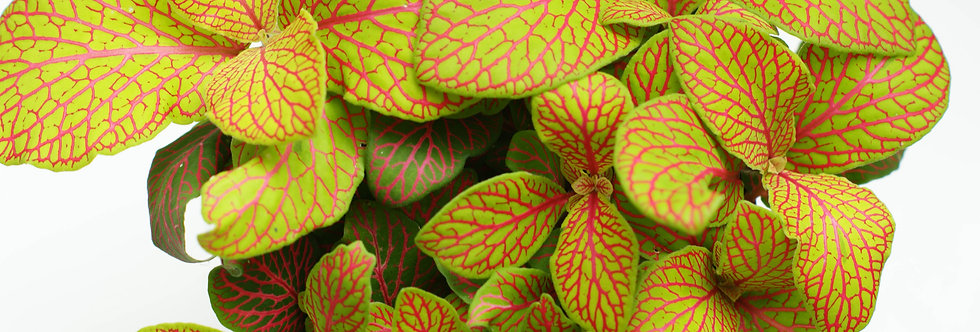 Fittonia   Nerve plant   Lemon/Pink