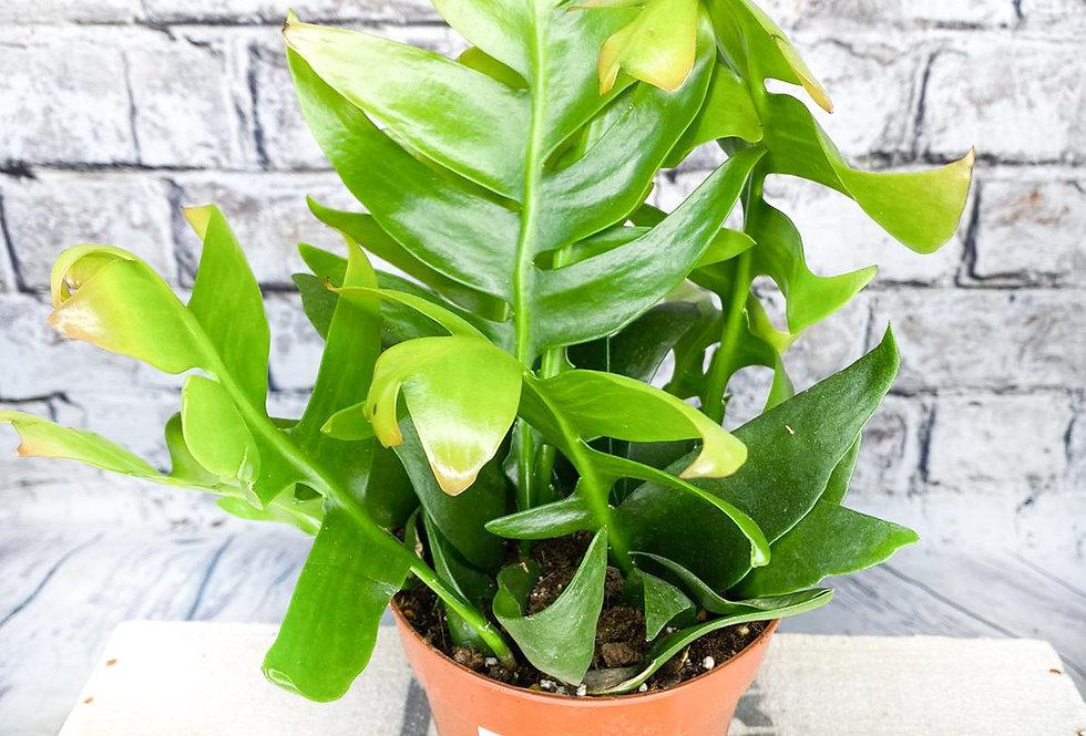Epiphyllum Chrysocardium 12cm pot