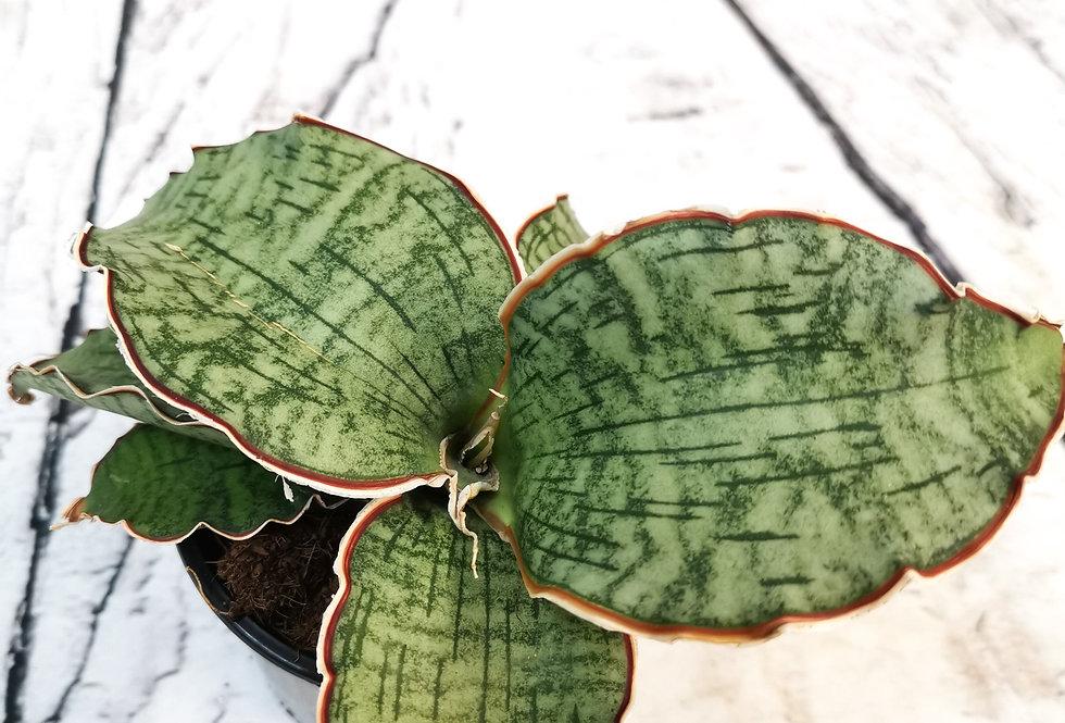 Sansevieria Star Green Granite