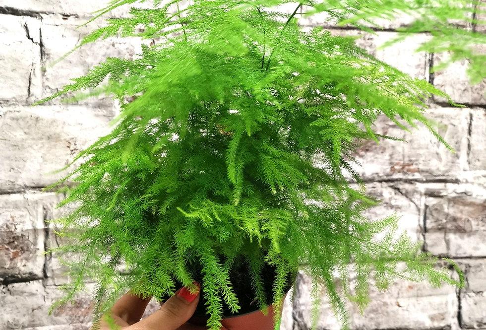 Asparagus Plumosus | Asparagus Fern