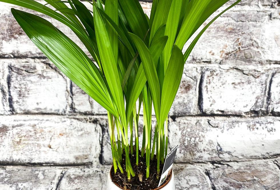 Areca ( Dypsis lutescens )  Palm