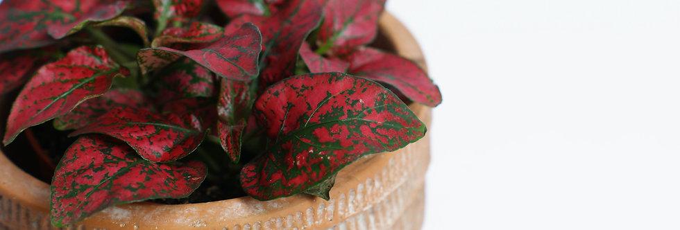 Hypoestes phyllostachya | Polka dot plant | Flamino Plant |Dark Pink