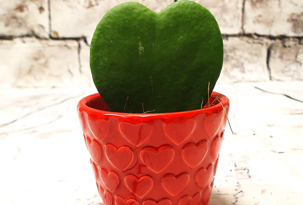 Hoya Kerrii red heart
