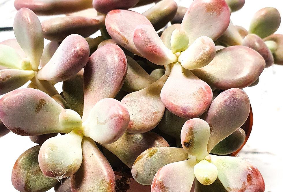 Pachyphytum Rubra - Moonstones
