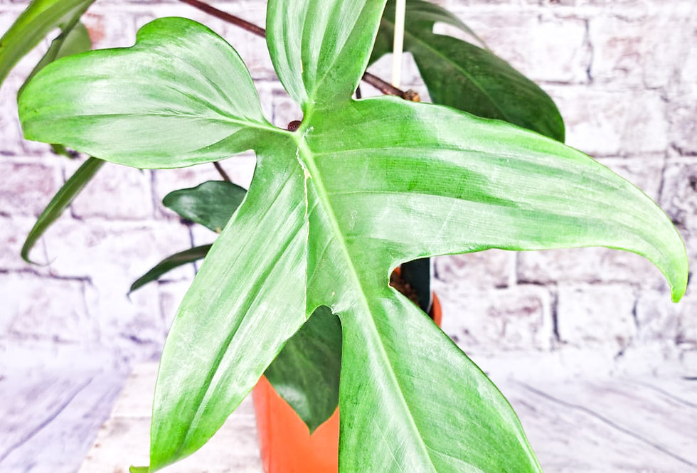 Philodendron Florida Green Beauty 17Ø 45cm