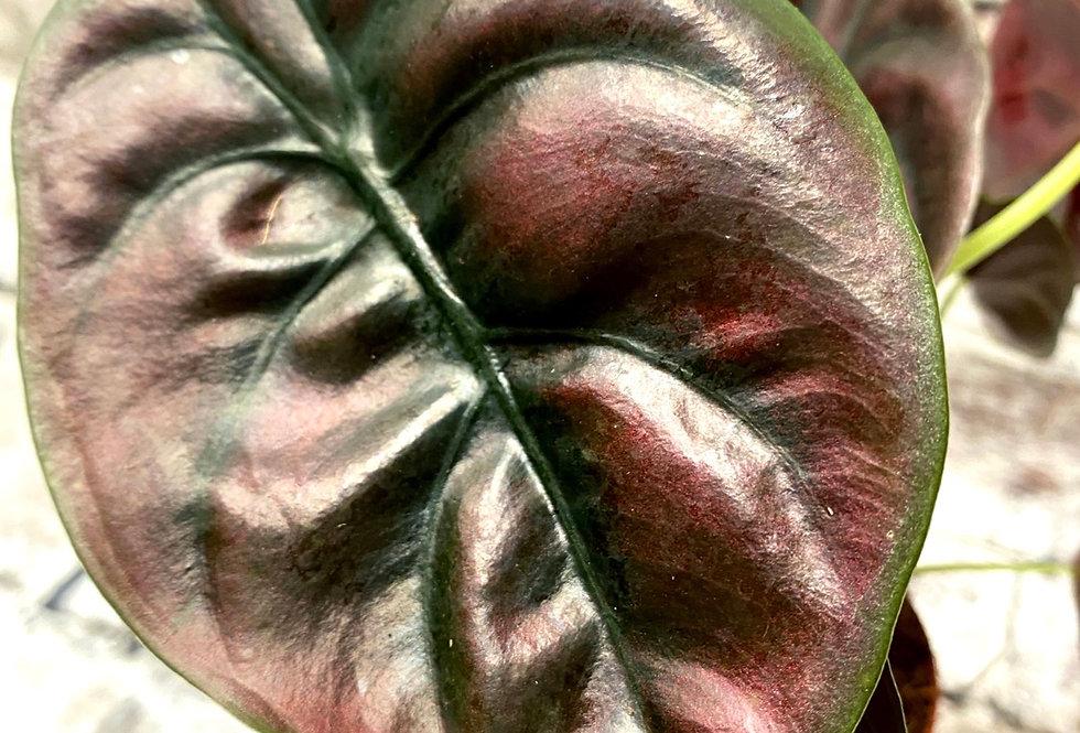 Alocasia cuprea Red Secret red