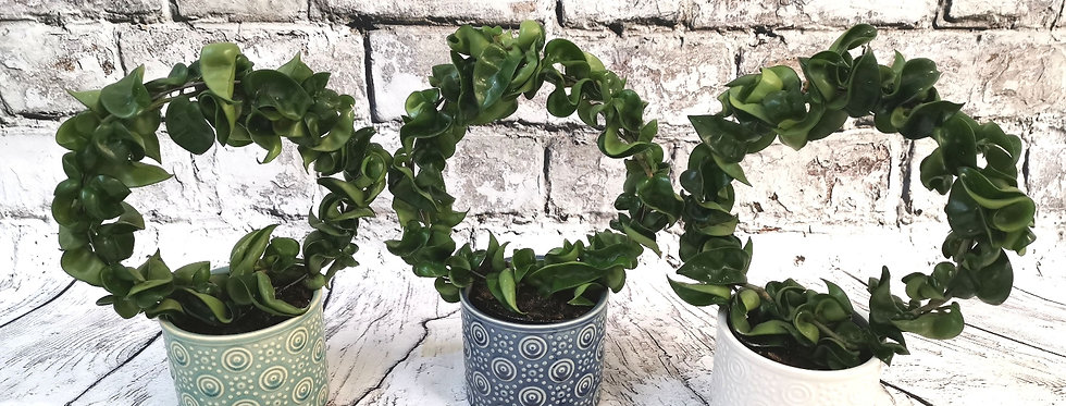 Hoya Compacta +Ceramic pot