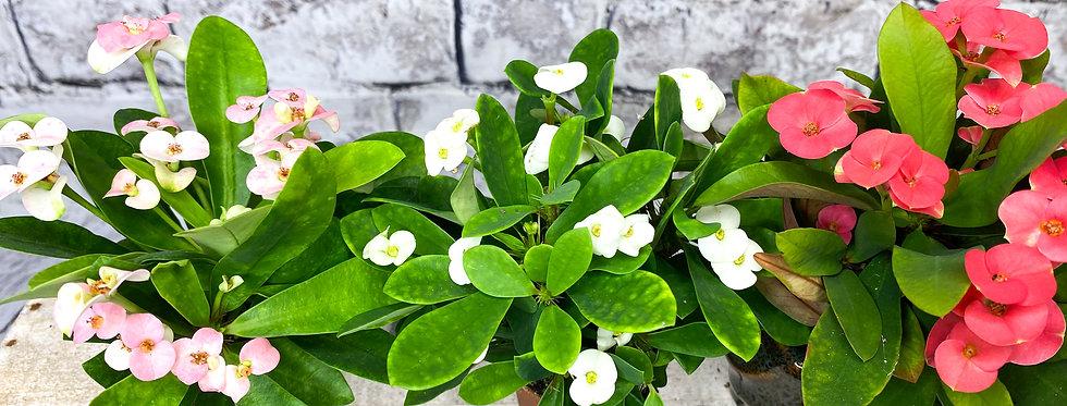 Euphorbia milii GM