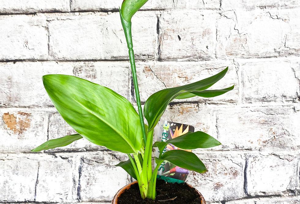 Sterliza Reginae (fake flower)