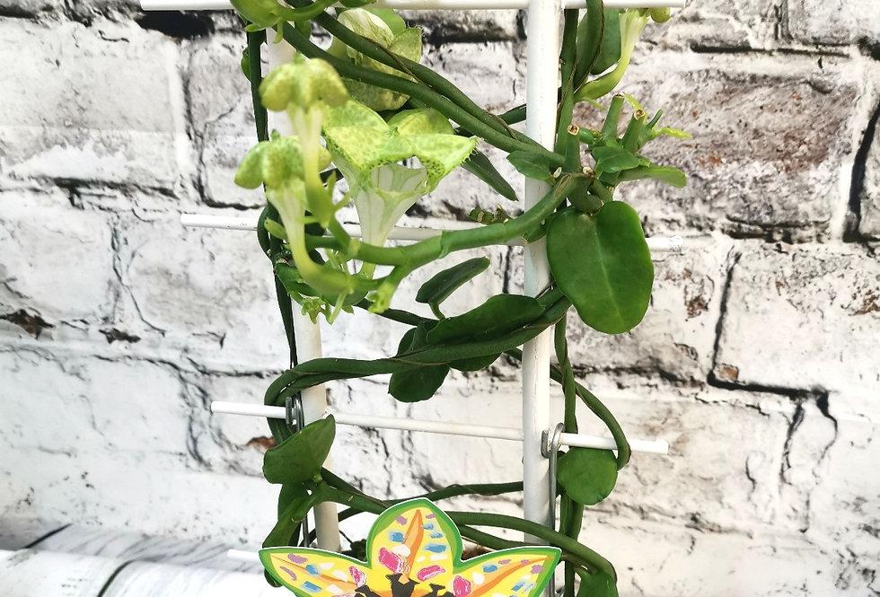 Ceropegia Sandersonii African Parachute plant