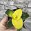 Thumbnail: Sansevieria Star Canary baby