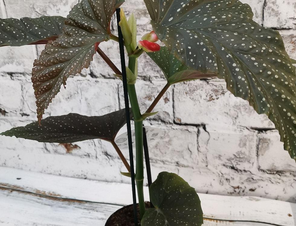 Begonia Corallina de lucerna