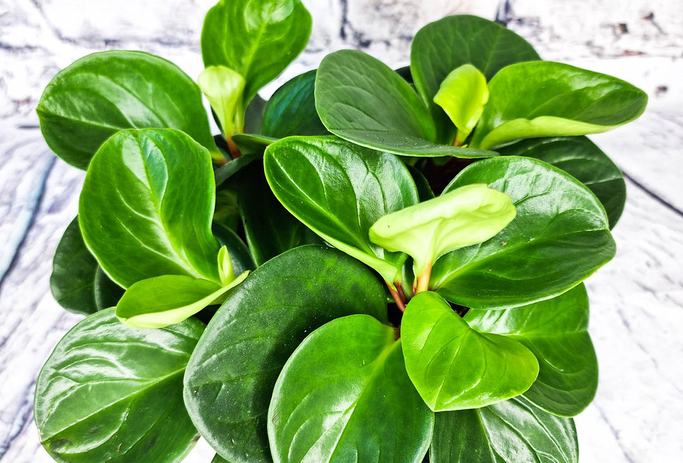 Peperomia red canyon 14cm pot size