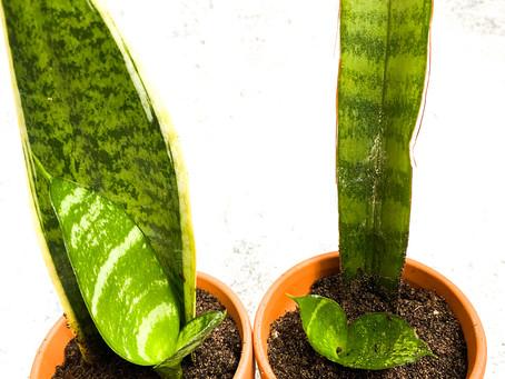How propagate snake plant?