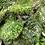 """Thumbnail: Begonia REX SPEC """"SIZEMOREA"""""""