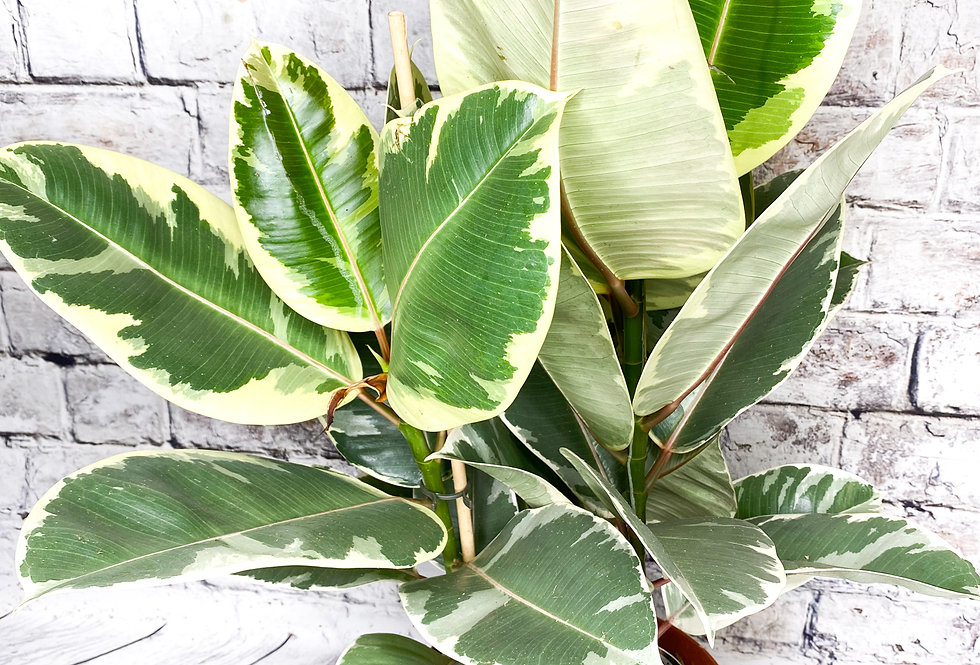 Ficus Tineke 3pp 75 cm