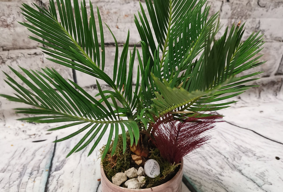Cycas Revoluta - Sago Palm with nice planter