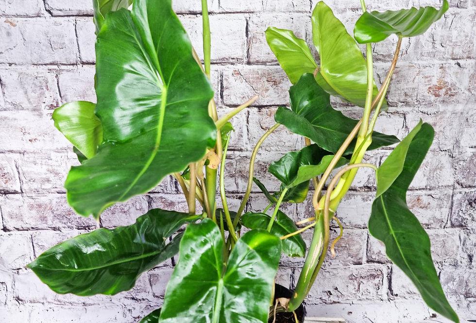 Philodendron Burle marx 15Ø 80cm
