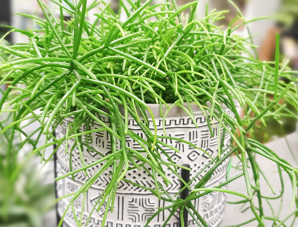 Rihipsalis + ceramic pot