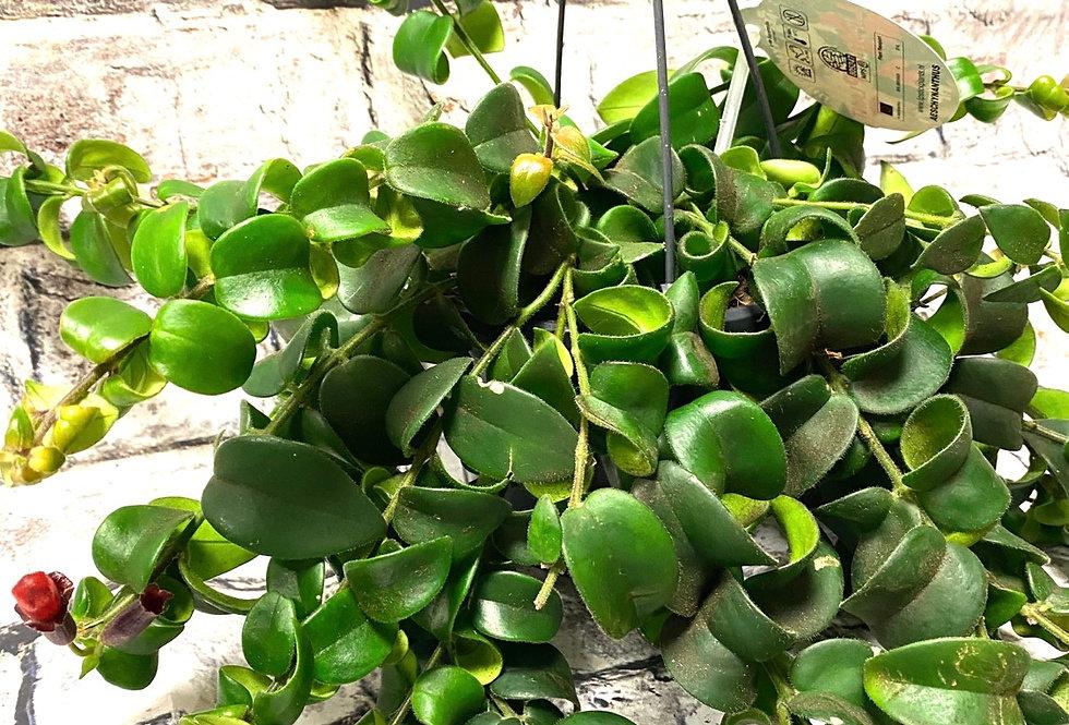 Aeschynanthus Mona Lisa- Lipstick plant